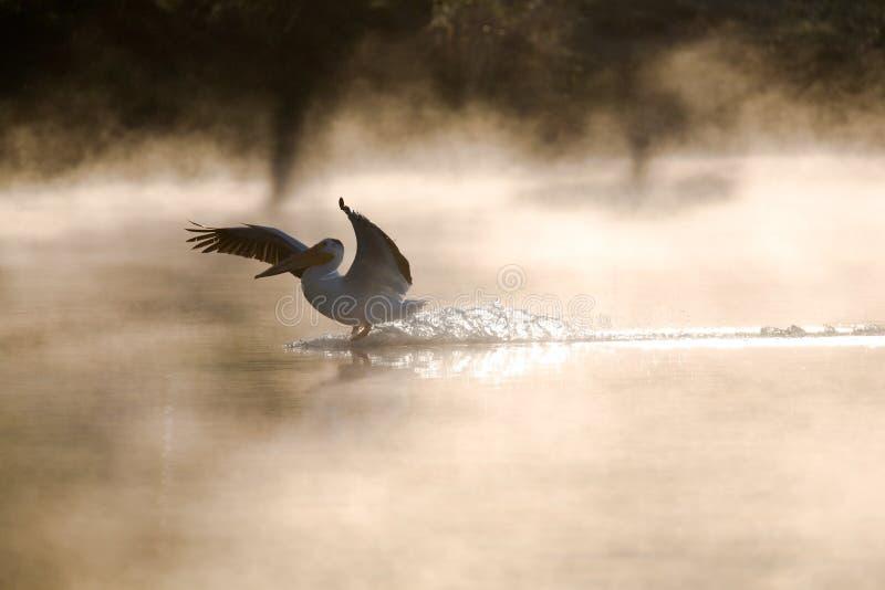 w dół pelikan fotografia royalty free