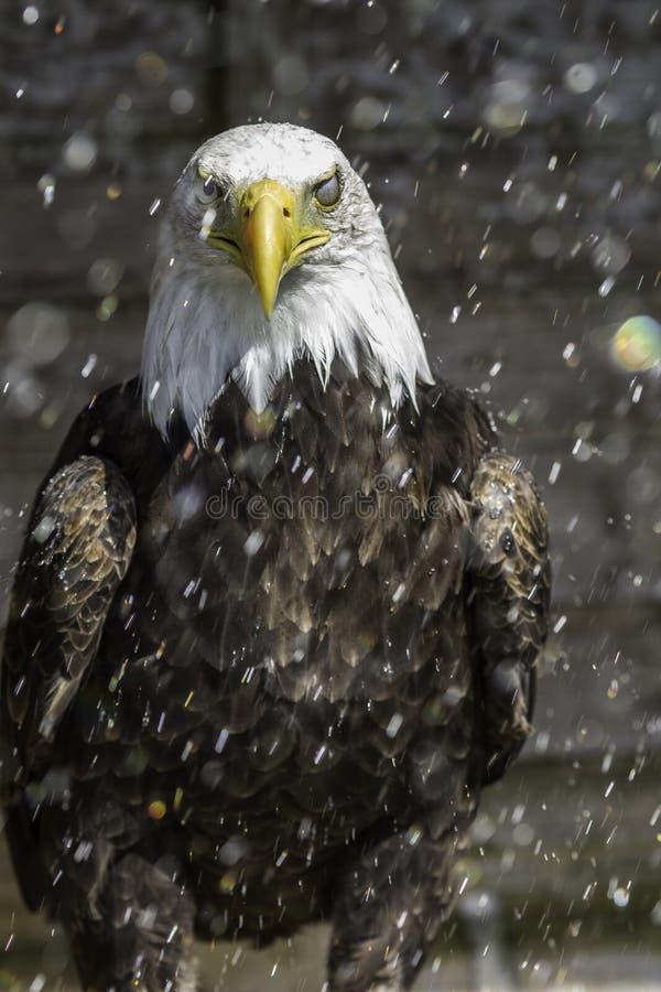 W deszczu amerykański Łysy orzeł - łysa błona fotografia royalty free