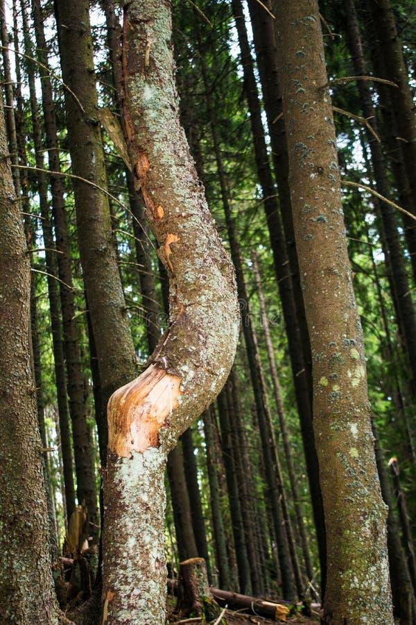 W drewnach, drzewo z przegiętym bagażnikiem Sosnowy las w górach obrazy stock