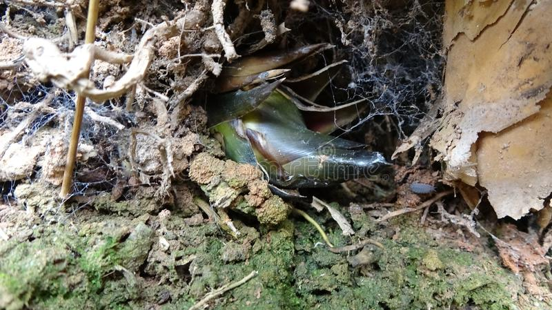 W dziurze, bambusowy krótkopęd skrycie r zdjęcie stock