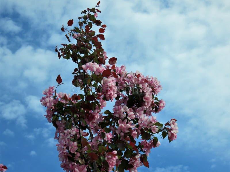 W Estonia wiośnie Sakura koloru nieba jasnego błękit 2018 fotografia stock