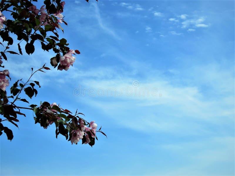 W Estonia wiośnie Sakura koloru nieba jasnego błękit 2018 zdjęcia stock