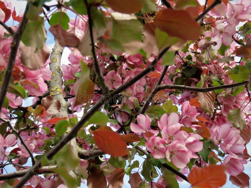 W Estonia wiośnie Sakura koloru nieba jasnego błękit 2018 obraz royalty free