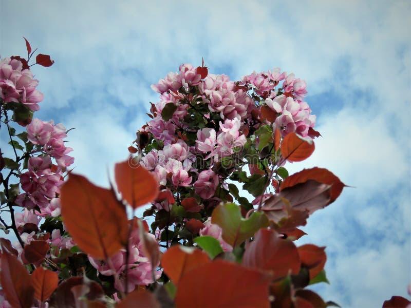 W Estonia wiośnie Sakura koloru nieba jasnego błękit 2018 zdjęcia royalty free