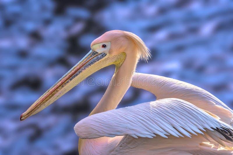 W górę dopłynięcie różanego pelikana fotografującego od strony z swój skrzydłami w górę w tle zamazującym odbija błękitny wat, zdjęcia royalty free