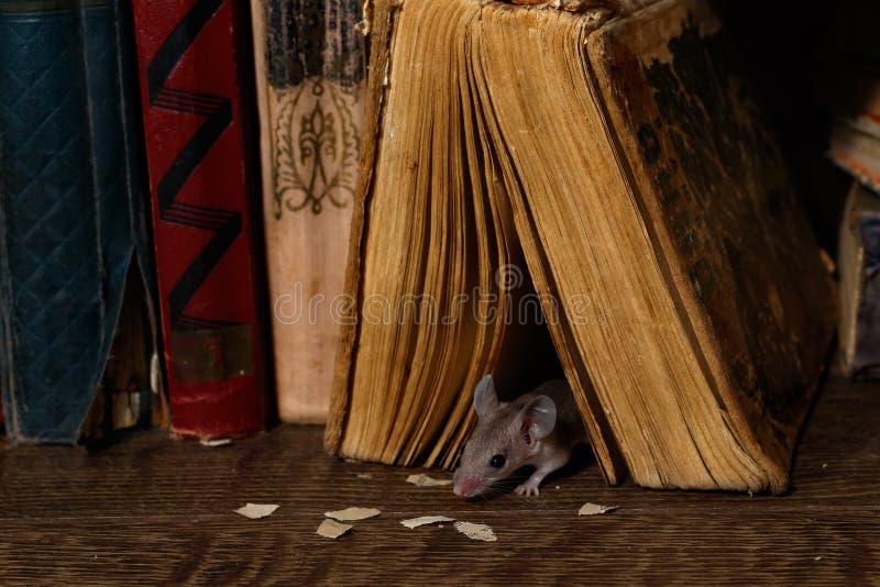 W górę młodych myszy spojrzeń z starej książki na podłodze w bibliotece obrazy stock