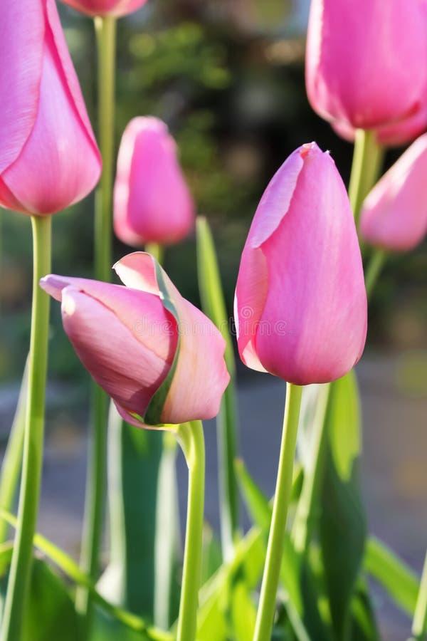 W górę miękkiej ostrości piękny różowy tulipanów rosnąć outside w wiośnie z bokeh tłem obrazy royalty free
