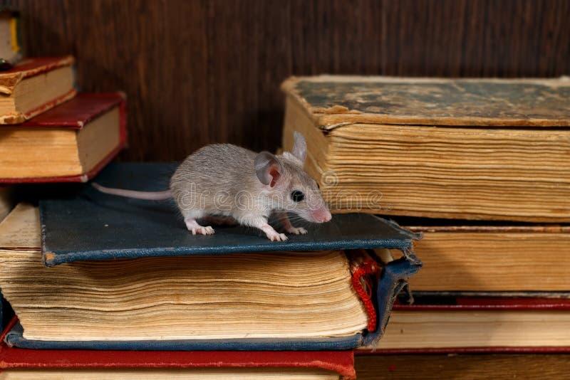 W górę potomstwo myszy szarych stojaków na stosie stare książki w bibliotece zdjęcia stock