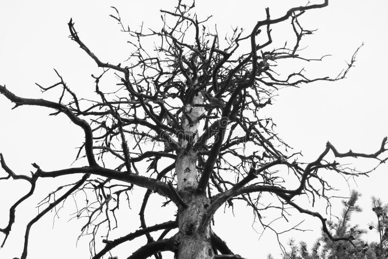 W górę tła, sylwetki, bagażnika i gałąź suchy nieżywy drzewo z nieba białym tłem przy jesienią, obrazy royalty free