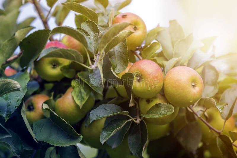 W górę wiązki piękni zieleni jabłka z kroplami rosy wiszący dojrzenie na jabłoni gałąź z zielenią liście zaświecali jaskrawym fotografia stock