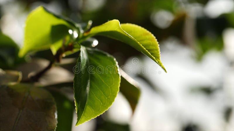 W górę zielonych drzewnych liści w świetle słonecznym Piękni świezi soczyści zieleń liście iluminujący światłem słonecznym Piękno zdjęcie stock