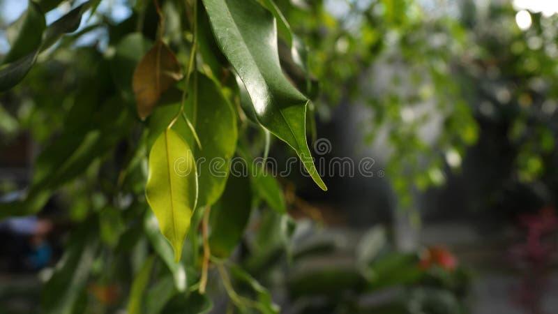 W górę zielonych liści drzewa w ciepłym słońcu Zielony sukulent opuszcza elongated iluminuje światłem słonecznym na tle zdjęcie stock