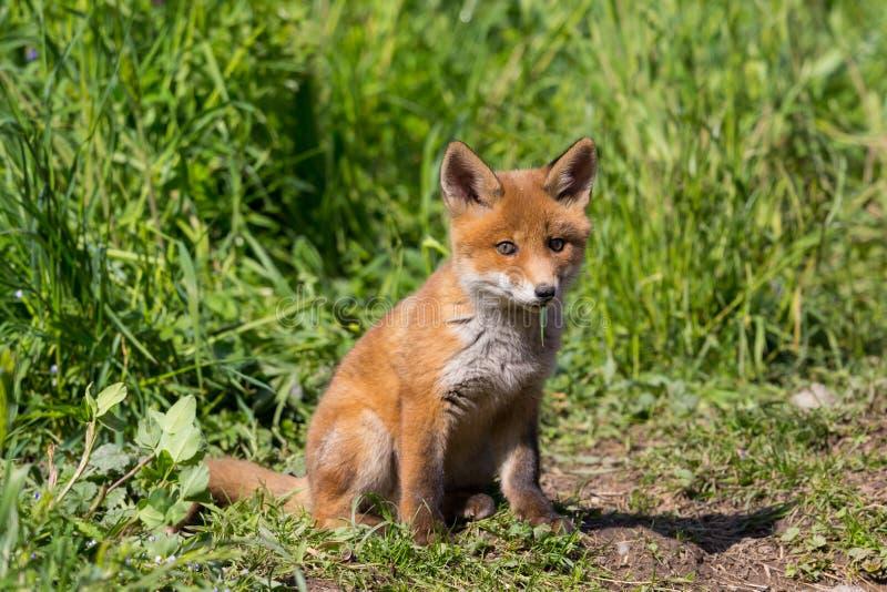 W górę ślicznego młodego dziecko czerwonego lisa vulpes obsiadania zdjęcia royalty free