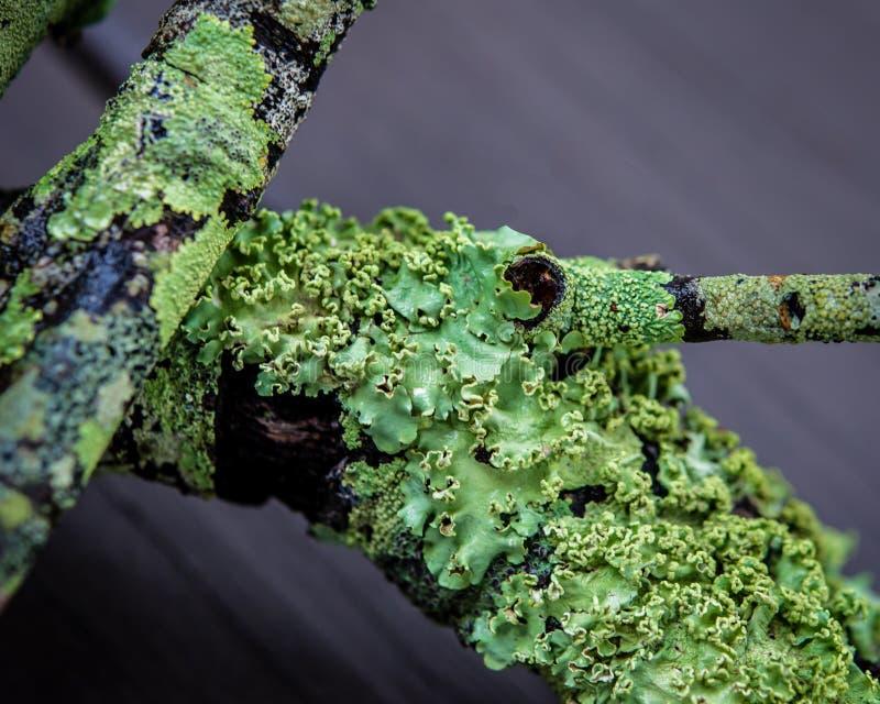 W górę abstrakta zielony mech na gałąź zdjęcie royalty free