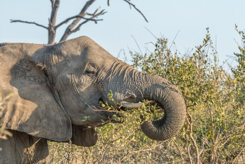 W górę afrykańskiego słonia wyszukuje na liściach fotografia stock