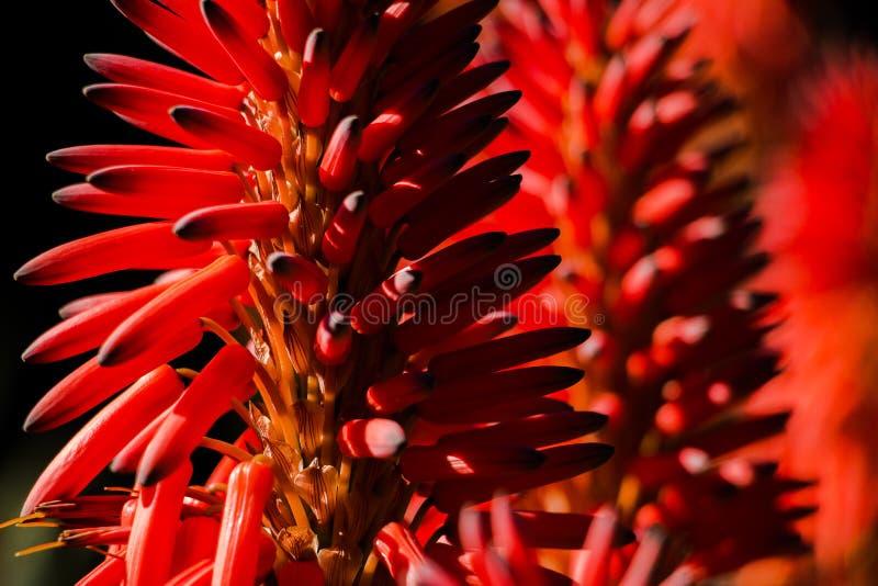W górę aloesu Vera kwiat z więcej kwitnie tło obrazy royalty free
