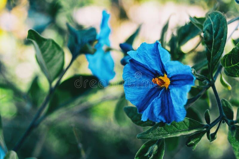 W górę błękitnego kwiatu solanum laciniatum fotografia stock