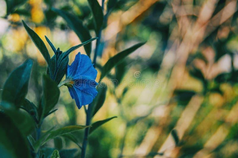 W górę błękitnego kwiatu Solanum laciniatum na swój plecy fotografia royalty free