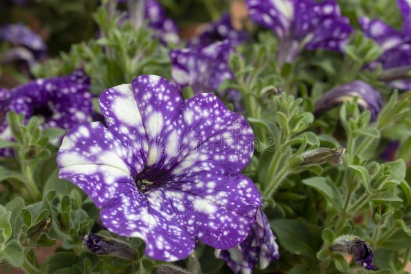 W górę białego hybrydowej petuni kwiatu filmujący w ogródzie Ja składa się purpur i bielu wzory obraz stock