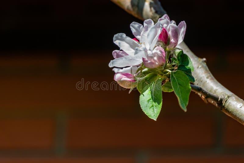 W górę bielu i menchii jabłoni kwiatów na zamazanym ściany z cegieł tle fotografia stock