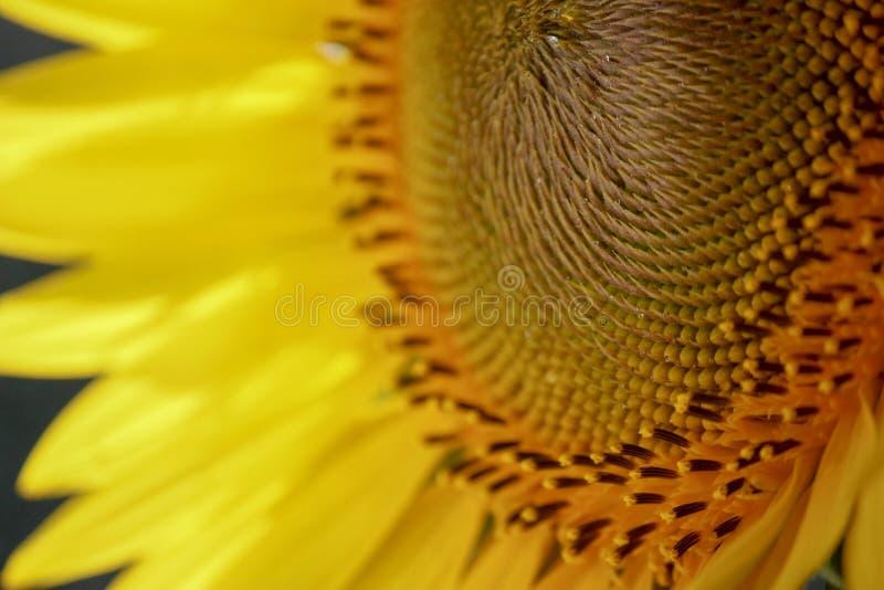 A w górę części żółty słonecznik tworzy abstrakcjonistycznego tło Makro- fotografia zdjęcia royalty free