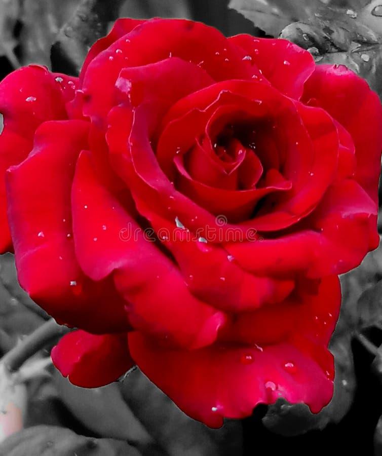 W górę czerwieni róży dalej obraz royalty free
