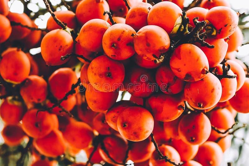 W górę Dojrzałej owoc z czerwienią lub pomarańczowym kolorem Czarny palmowy Normanbya normanbyi na drzewie zdjęcie stock