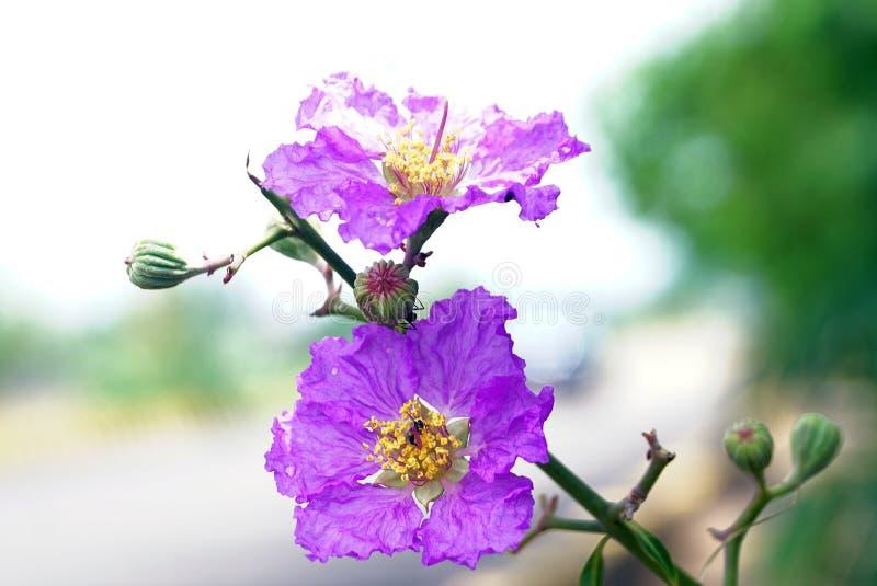 A W górę dumy India kwiat obrazy stock