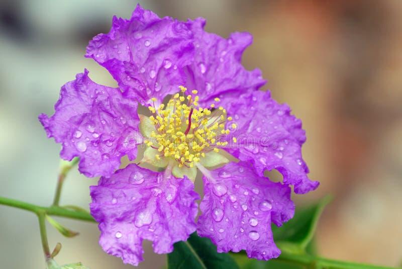 A W górę dumy India kwiat zdjęcia royalty free