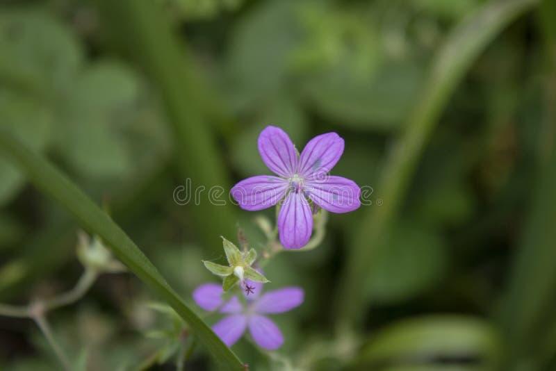 W górę Erodium fotografia stock