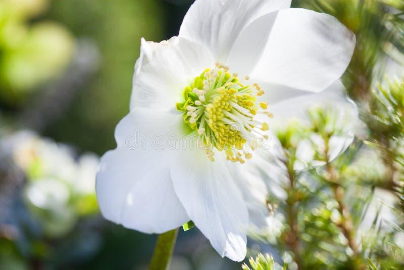 W górę fotografii pięknego bożego narodzenia różanego Helleborus Niger biały kwiat w wintergarden fotografia royalty free