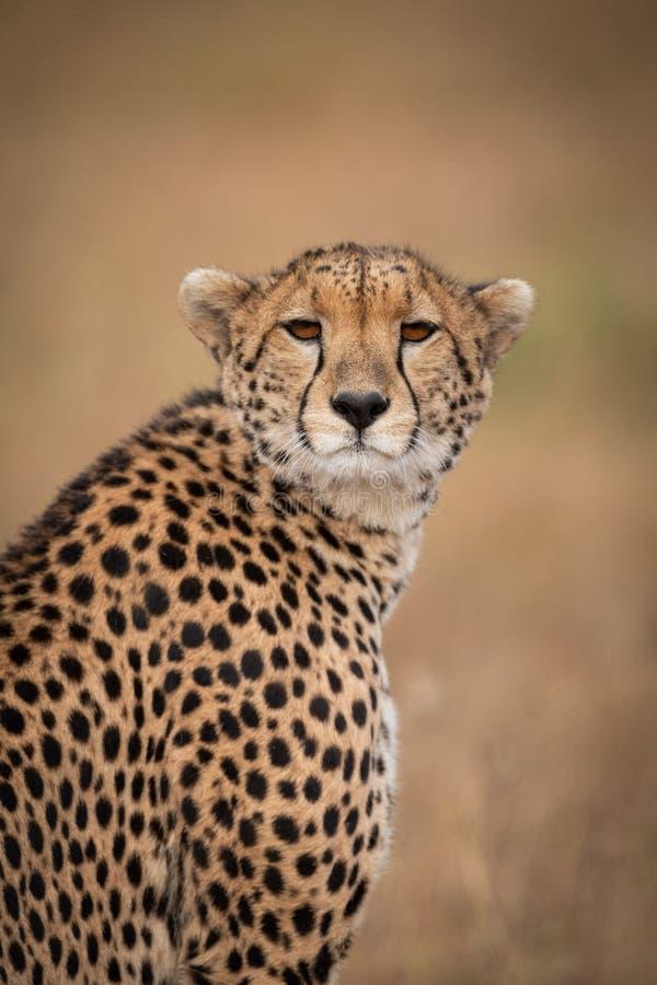 W górę geparda kręcenia głowy w kierunku kamery zdjęcie royalty free