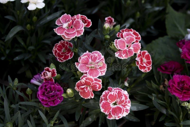 W górę goździka kwiatu &-x28; Dianthus caryophyllus&-x29; zamazuj?cy t?o Fotografuj?cy od wierzcho?ka obraz stock