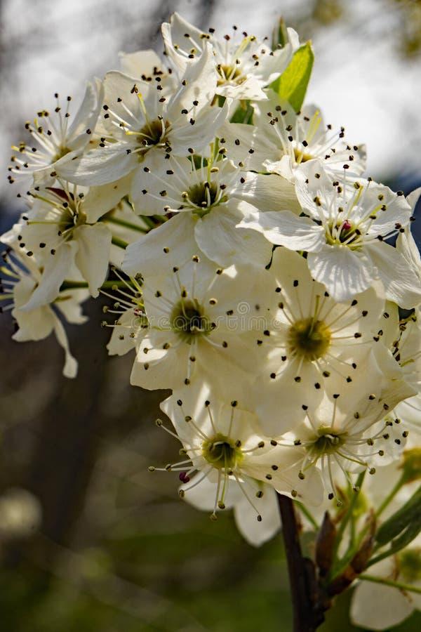 W górę gron Kwiatonośnych Czereśniowych okwitnięć fotografia stock
