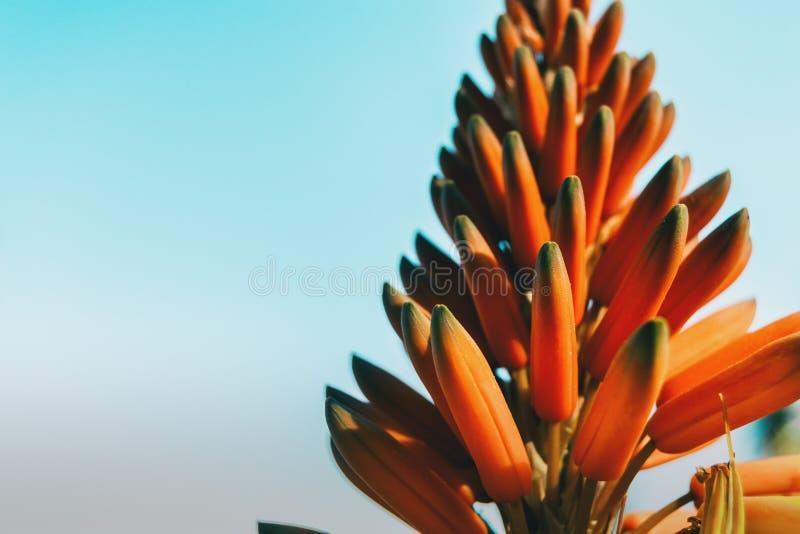 W górę grona pączki aloesów arborescens roślina fotografia royalty free