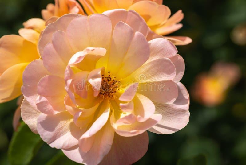 W górę grupy trzy jasnoróżowy i żółty «żart Unosi się «hybrydowe krzak róże w ogródzie z zielenią opuszcza w zamazany b obraz stock