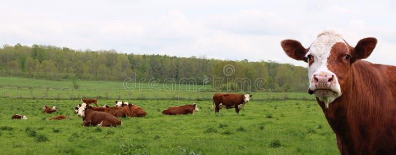 W górę Hereford krowy głowy przed stadem krowy i łydki obraz royalty free