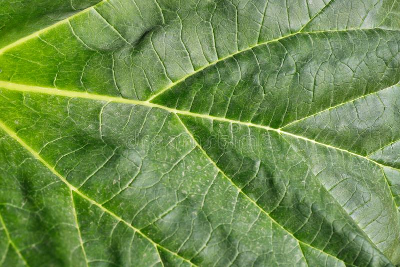 W górę horseradish liścia w jarzynowym wiosna czasu ogródzie zdjęcie stock