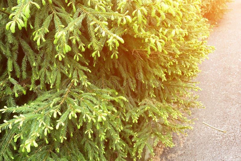 W górę jedlinowych drzew z potomstwami zieleń strzela fotografia stock