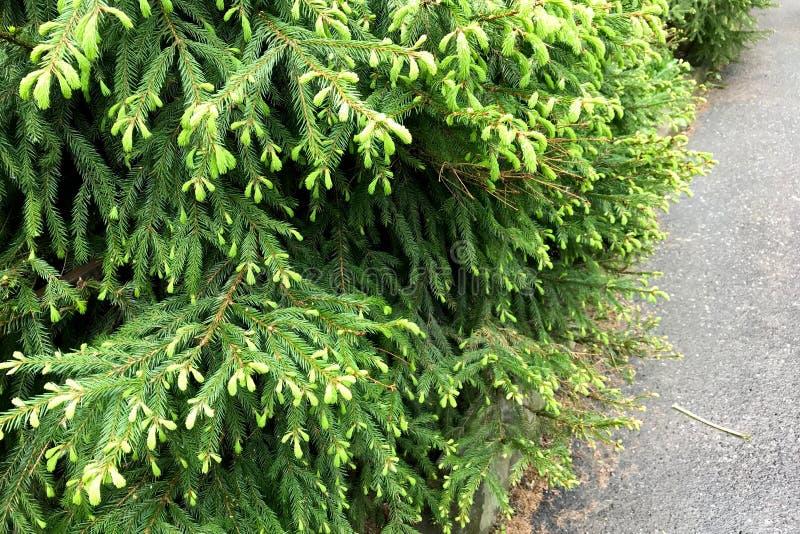 W górę jedlinowych drzew z potomstwami zieleń strzela zdjęcia stock