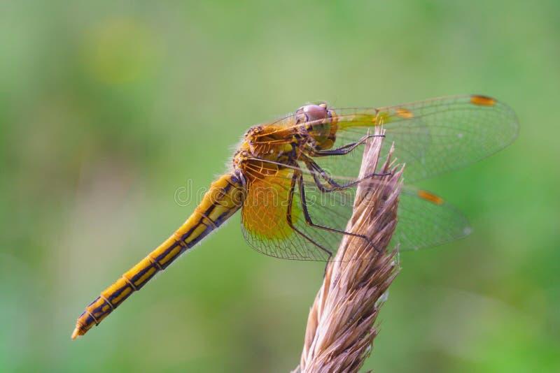 w górę kolor żółty zamknięty dragonfly obraz stock
