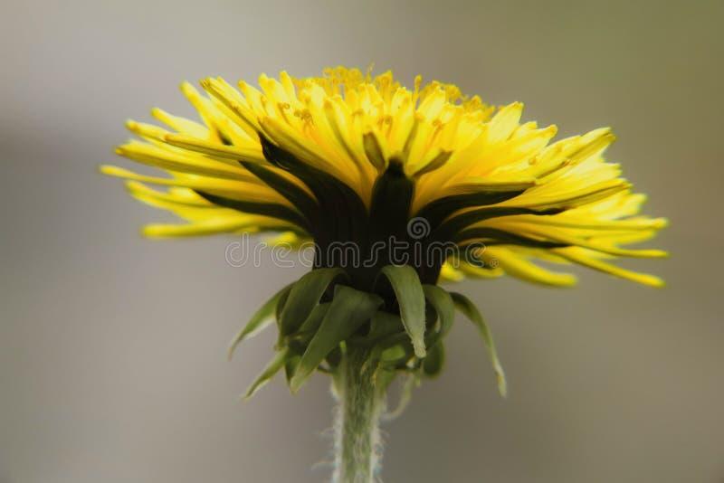w górę kwitnącego dandelion kwiatu w kontekście niebieskie chmury odpowiadają trawy zielone niebo białe wispy natury zdjęcie stock