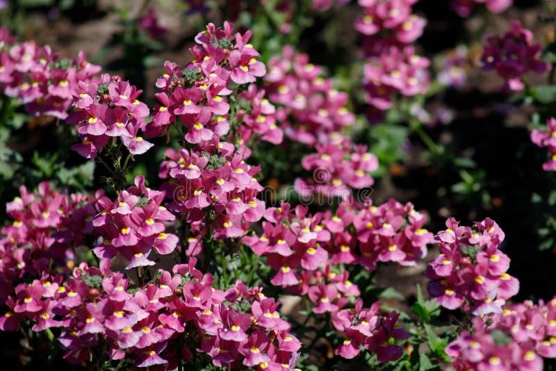 W górę leczniczej rośliny mędrzec lub szałwie uprawia ogródek - rozmaitość piękne menchie z żółtym środkiem zdjęcia royalty free
