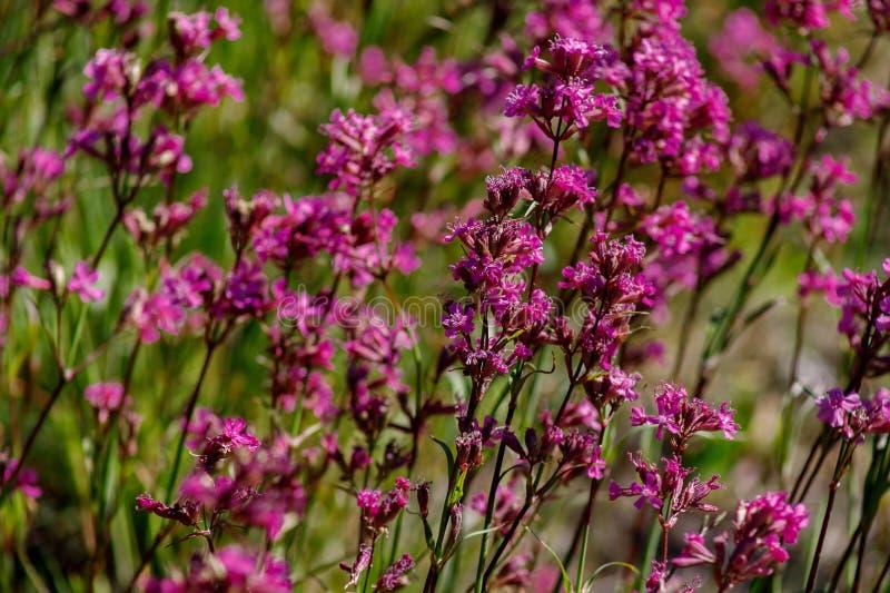 W górę leczniczej rośliny silene yunnanensis dzwoniący mistrz z małymi pięknymi purpurami kwitnie fotografia royalty free