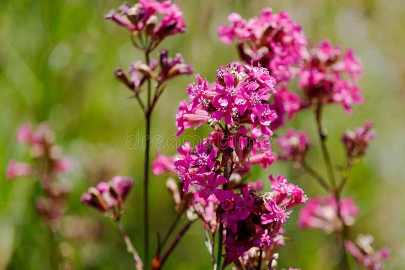W górę leczniczej rośliny silene yunnanensis dzwoniący mistrz z małymi pięknymi purpurami kwitnie fotografia stock