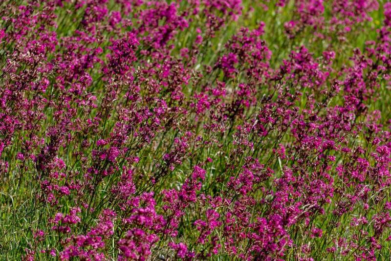 W górę leczniczej rośliny silene yunnanensis dzwoniący mistrz z małymi pięknymi purpurami kwitnie zdjęcia royalty free