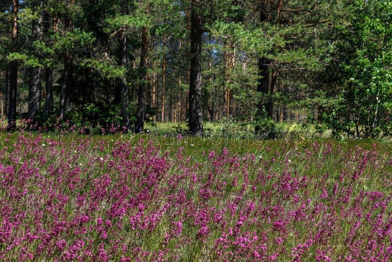W górę leczniczej rośliny silene yunnanensis dzwoniący mistrz z małymi pięknymi purpurami kwitnie obraz stock