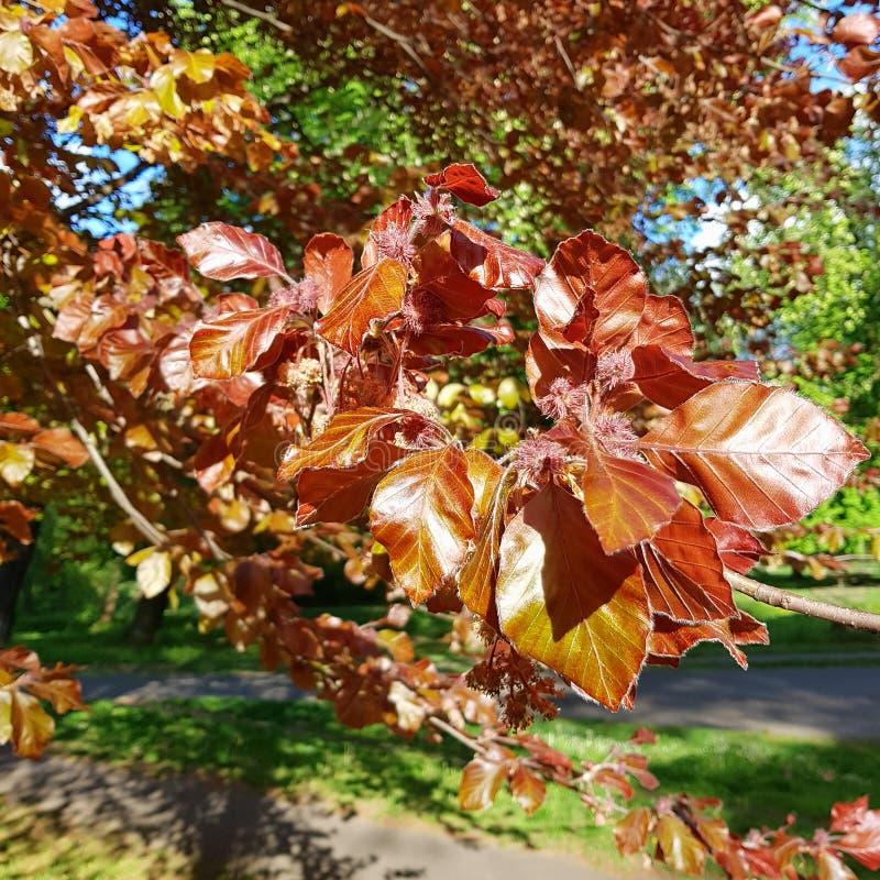 W górę młodych liści i okwitnięć Purpurowy buk, Fagus sylvatica purpurea obrazy royalty free