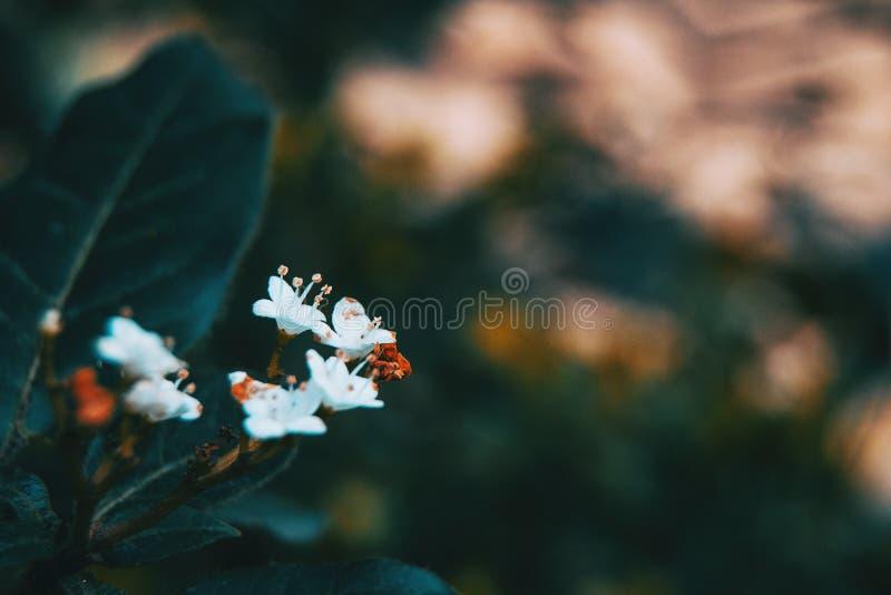 W górę małych białych kwiatów viburnum tinus fotografia stock