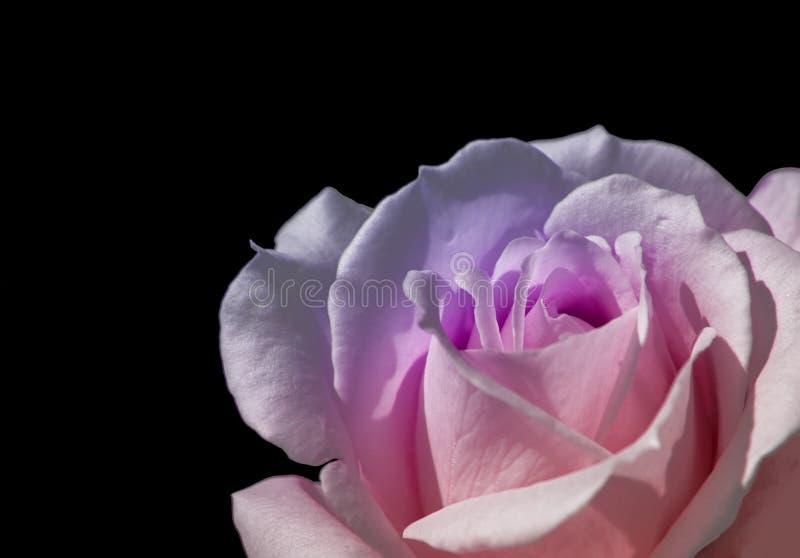 W górę menchii róży miłości symbolu na czarnym tle fotografia royalty free